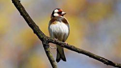 ptak, szczygieł