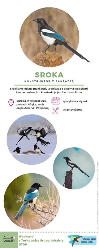 OTOP Turek: Sroka (Pica pica) - konstruktor z fantazją