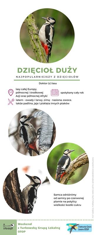 Dzięcioł duży (Dendrocopos major) - najliczniejszy i najpowszechniejszy z polskich dzięciołów